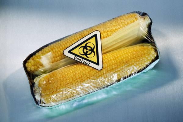 ГМ кукуруза